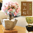 桜盆栽:鉢色選べるミニ一才桜(信楽花型小鉢)*【2021年開
