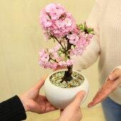 桜盆栽:モダン旭山桜(白丸鉢受皿付)*【送料無料】【即日出荷可】