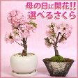 ◇楽天1位◇【母の日 ギフト】桜盆栽:鉢が選べる母の日開花桜* 【送料無料】【さくら盆栽】