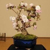 桜盆栽:八重桜(太)