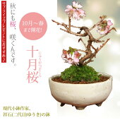 桜盆栽:十月桜(国産手造鉢)*【送料無料】【即日出荷可】