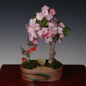 ☆サクラは4月に開花☆お花好きな方への贈り物にぴったり盆栽:桜・長寿梅寄せ植え*【送料無料...