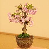 桜盆栽素材:一才桜(さくら)*植替えサービス&苔付【あす楽対応】【ぼんさい ボンサイ】【さくら盆栽】