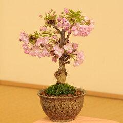 桜盆栽素材:一才桜(さくら)プラポット*【あす楽対応】【ぼんさい ボンサイ】【さくら盆栽】