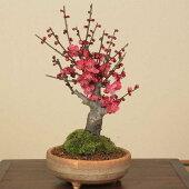 盆栽:紅梅(信楽焼鉢)*【楽ギフ_包装】【楽ギフ_メッセ入力】【あす楽対応】