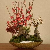 盆栽:紅白梅寄せB(信楽焼鉢)