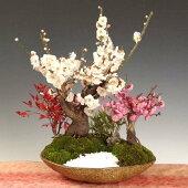 盆栽:紅白梅寄せC(信楽焼鉢)