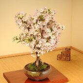 桜盆栽:御殿場桜(瀬戸焼鉢)