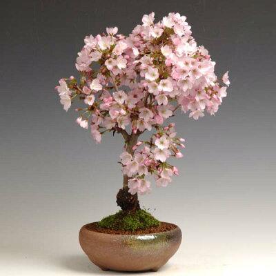 2011年1月14日☆再入荷!一重の清楚な桜です。100鉢しかないのでお早めに!!人気桜盆栽:御殿...