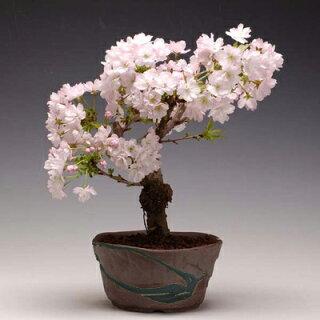 八重桜のチューハイとは?