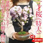盆栽:一才桜(大・瀬戸焼鉢)*【送料無料】【あす楽対応_関東】【あす楽対応_近畿】