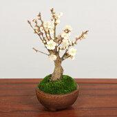 小品盆栽:白梅(瀬戸焼小鉢)