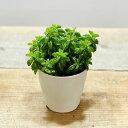 おしゃれ 観葉植物:ペペロミア ニパドラ*プラポット
