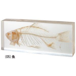 【ポイント10倍】リアル骨格標本【魚】【代引き手数料無料】【送料無料】(10P13Dec13)