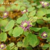 [山野草] 紫花八重咲きバイカカラマツソウ