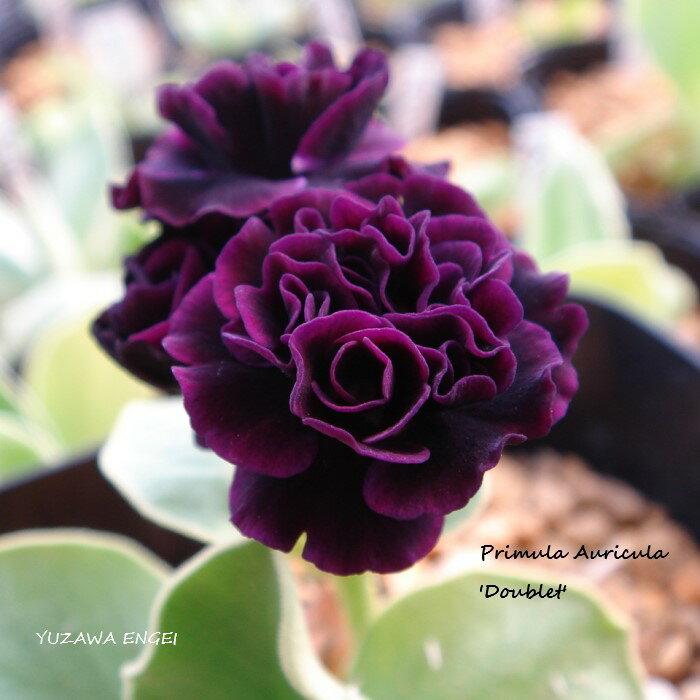 花・観葉植物, 鉢花