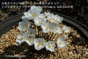 白花タツタソウ3