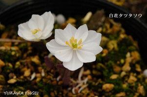 白花タツタソウ2