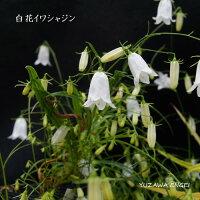 [山野草]白花イワシャジン