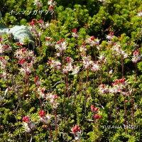 [山野草高山植物]チシマツガザクラ