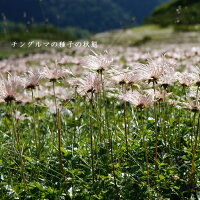 [山野草]チングルマ