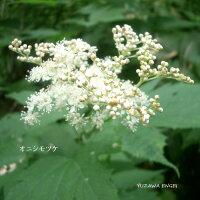 [山野草茶席の花]オニシモツケ