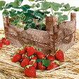 ペーパーナプキンストロベリーケース木のプランターで育てたイチゴがたくさん採れました甘い香りを感じますショートケーキ、フルーツポンチ、何を作りましょう?デコパージュにもどうぞ