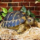 カメ 置物 Bタイプ 大きくてリアルな亀の置物 爬虫類 縁起物 幸運 ...