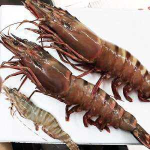 特特特大天然有頭エビ 6尾  1.5kg海老 エビ えび 天然 特大