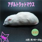 冷凍アダルトラット約30~40g/匹冷凍マウスアダルト冷凍ネズミアダルトマウス冷凍餌エサ猛禽類爬虫類両生類肉食ペット用クール便発送30匹セット