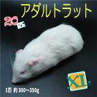 冷凍アダルトラットXLサイズ約300〜350g/匹冷凍マウスアダルト冷凍ネズミ冷凍餌エサ猛禽類爬虫類両生類肉食ペット用クール便発送20匹セット