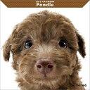 アーリスト THE DOG カレンダー プードル 1個